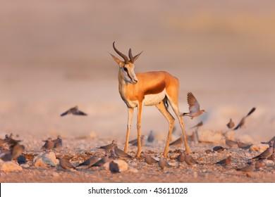 Springbok standing between a swarm of doves on rocky plains of Etosha; Antidorcas Marsupialis