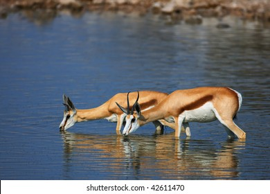 Springbok standing fully in water while drinking; Antidorcas Marsupialis