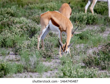 A Springbok is standing in the savannah grass of the Etosha National park in northern Namibia during summer