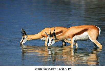 Springbok standing in water while drinking; Antidorcas Marsupialis