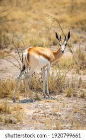 Springbok stands turning to camera by thornbush