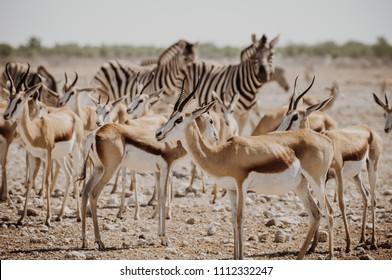 Springboks and zebra close to the waterhole