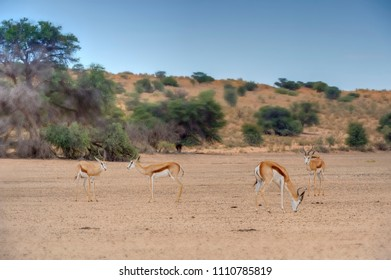 SPRINGBUCK (Antidorcas marsupialis) scratching for something to eat when the rains fail in the Kalahari desert, South Africa