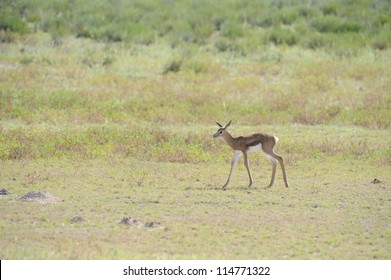 Springbuck (Antidorcus marsupialis). Newborn lamb taking first steps in the dry riverbed of the Nossob, Kgalagadi transfrontier park.
