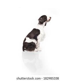 Springer Spaniel against white background