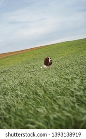Springer Spaniel dog in the crop