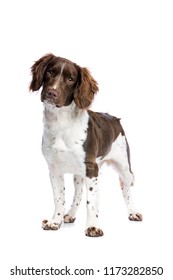 springer spaniel dog in front of a white background