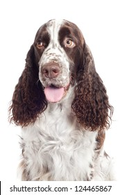 springer spaniel dog portrait