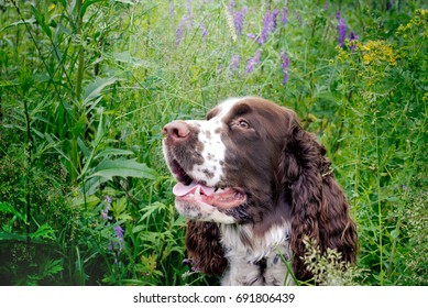Springer spaniel dog resting in the grass with his tongue hanging out