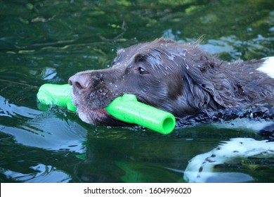 springer spaniel playing swimming with green chew toy