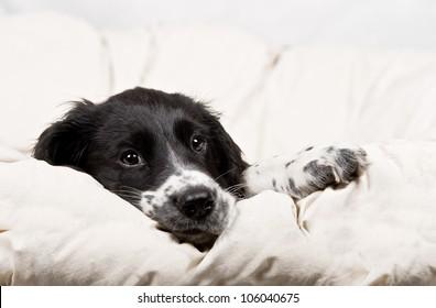 springer spaniel puppy resting on a white blanket