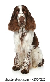 Springer Spaniel sits on a white background
