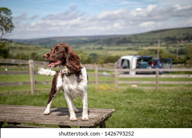 Springer Spaniel  standing on a table at campsite with camper van in background.