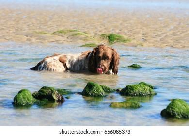 Springer Spaniel Taking a dip