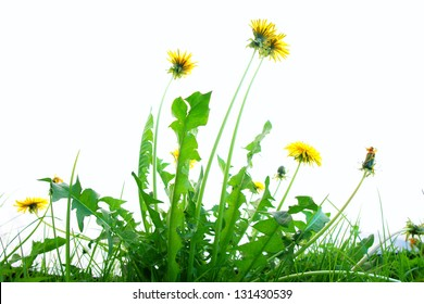 Springflowers isolated on white background with grass and soil