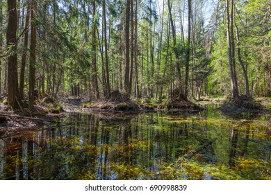 Springtime alder bog forest with standing water, Bialowieza Forest, Poland, Europe