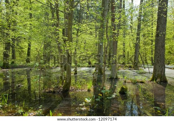 Springtime alder bog forest with standing water