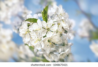 Springtime background. Soft focus image of spring flowers blossom with sun light. Beautiful nature scene with blooming tree and sun flare