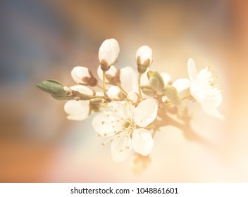 Springtime background. Soft focus image of spring flowers blossom. Beautiful nature scene with blooming tree and sun light