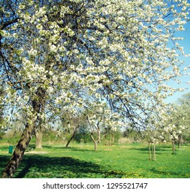 Springtime in Bavarian  countryside, beautiful apple tree full of white blossoms in the wind
