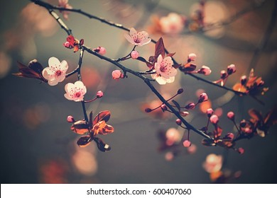 Springtime. Beautiful flowering Japanese cherry - Sakura. Colorful background with flowers  and sun on a spring day.