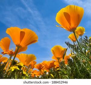 Springtime blooms of California Golden Poppies.
