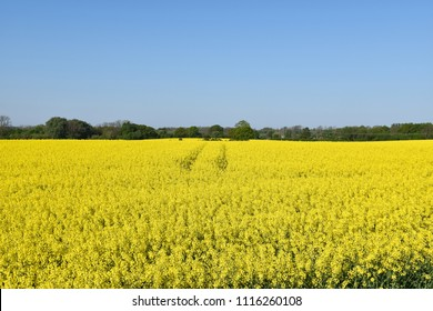 Springtime with a blossom canola field at the swedish island Oland