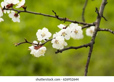 Springtime blossoming apricot tree. White first spring flowers close up with a blurry green background. Flowers and branches of fruit tree.