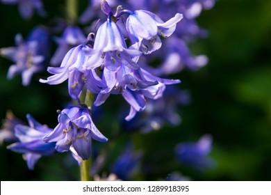 Springtime bluebells in English countryside Hyacinthoides non-scripta
