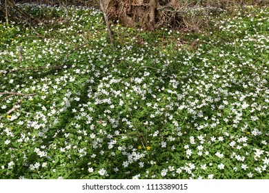 Springtime with a carpet of windflowers on the ground in a forest