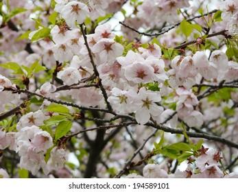 Spring-time Cherry Blossom or Sakura on Cherry trees (Someiyoshino or Prunus Yedoensis, Prunus Akebono and Prunus Fugenzo) in Toronto's High Park