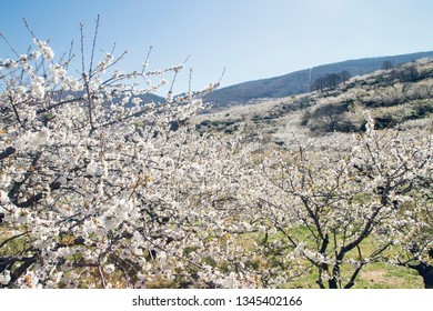 Springtime cherry blossoms in Valle del Jerte, Caceres, Spain
