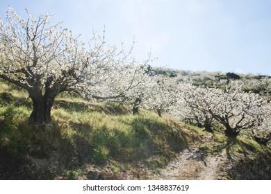 Springtime cherry blossoms in Valle del Jerte, Spain
