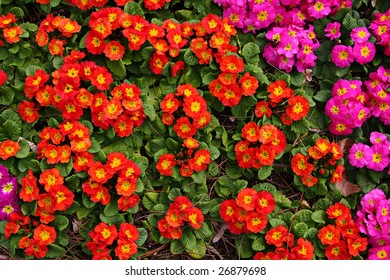 Springtime. Colorful red and purple primula and soil