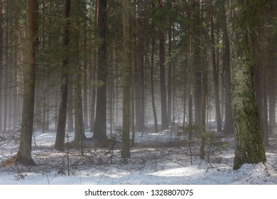 Springtime coniferous forest with melting snow and mist, Bialowieza Forest, Poland, Europe