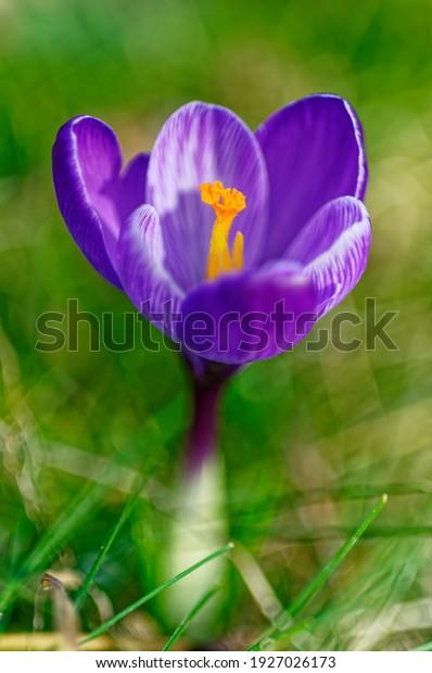 springtime-crocus-blossom-morning-light-