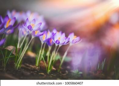 Springtime crocuses at sunbeam, springtime outdoor nature