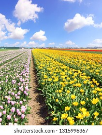 Springtime Dutch colorful tulips flowering in Lisse, Netherlands. Fields of magic spring flowers
