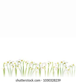 Springtime flatlay of snowdrop flowers on white background. Negative space.