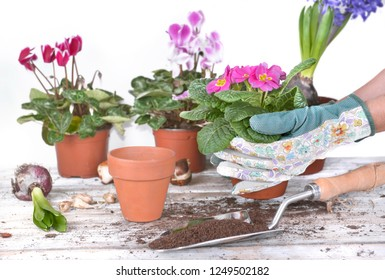 springtime flowerpot held by hands of gardener above a garden table