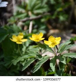 Springtime flowers, blossom wood anemones closeup