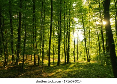 Springtime forest with setting sun shining through leaves and branches. Nature, forestry, habitat, environment and sustainability concepts