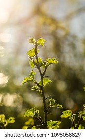 Springtime with a fresh growing thorny gooseberry twig in backlight