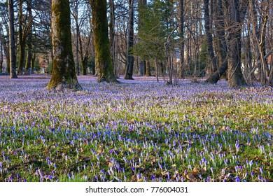 Springtime - glades of flowering crocus (Crocus Vernus)  in the park.  Cetinje, Montenegro