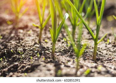 springtime, green onion, soil