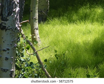Springtime Horsetail Plants surrounded by aspen trees