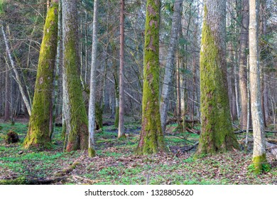 Springtime landscape of old forest in morning, Bialowieza Forest, Poland, Europe