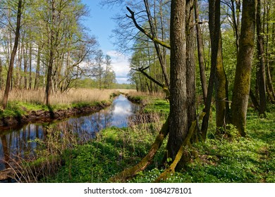 Springtime landscape in sun of Lutownia River crossing old riparian stand, Bialowieza Forest, Poland, Europe