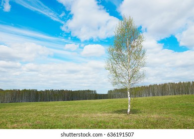 Springtime landscape with a young isolated birch tree among wide field in sunny cloudy day