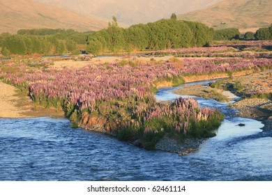 Springtime lupins in the river bed, Ahuriri River, Omarama, New Zealand